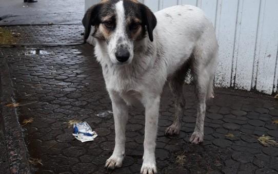 Киевская Хатико: для собаки, лишившейся хозяина, ищут новый дом
